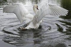 Un cigno muto che allunga le sue ali Immagine Stock