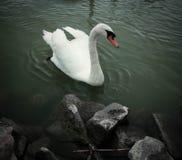 Un cigno nel lago Balaton Immagini Stock