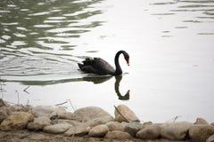 Un cigno nero Fotografie Stock Libere da Diritti