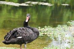 Un cigno nero vicino ad un fiume fotografie stock