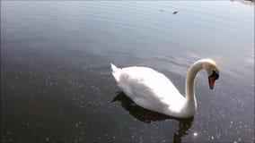 Un cigno sta nuotando nel lago video d archivio