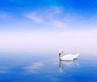 Un cigno su una priorità bassa blu Fotografia Stock Libera da Diritti