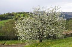 Un ciliegio nel paesaggio Fotografie Stock Libere da Diritti
