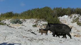 Un cinghiale femminile cammina con i porcellini sul litorale sabbioso nel slo-Mo stock footage