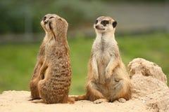 Un cinquième roule dedans la communauté de meerkats photographie stock libre de droits