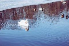 Un cisne blanco con los patos silvestres de los patos que nadan en el invierno Fotografía de archivo