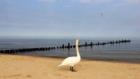 Un cisne blanco en la playa báltica Foto de archivo