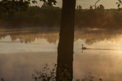 Un cisne blanco imágenes de archivo libres de regalías