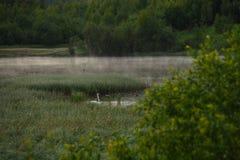 Un cisne blanco foto de archivo