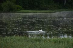 Un cisne blanco imagen de archivo