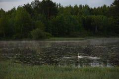 Un cisne blanco fotografía de archivo