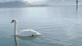 Un cisne blanco está nadando en un lago metrajes