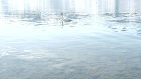 Un cisne blanco está nadando en un lago almacen de metraje de vídeo