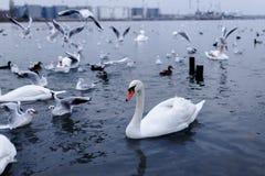 Un cisne blanco flota agraciado en el mar claro, junto con el cangrejo del cisne y los marineros que vuelan en él fotos de archivo libres de regalías