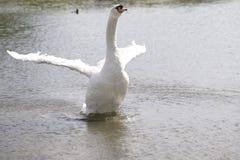 Un cisne blanco grande que estira sus alas Fotografía de archivo