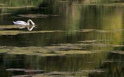 Un cisne blanco nada en un lago tranquilo durante la tarde de un verano caliente fotos de archivo