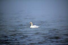 Un cisne blanco solitario en el agua azul Fotos de archivo libres de regalías