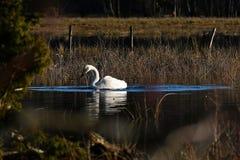 Un cisne de whooper hermoso, cygnus del Cygnus en un lugar reservado en un río inundado fotos de archivo