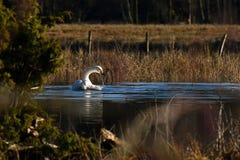 Un cisne de whooper hermoso, cygnus del Cygnus en un lugar reservado en un río inundado foto de archivo libre de regalías