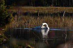 Un cisne de whooper hermoso, cygnus del Cygnus en un lugar reservado en un río inundado fotos de archivo libres de regalías