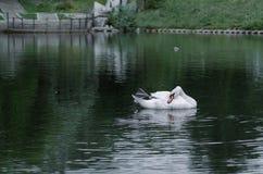 Un cisne en el fondo de la hierba fotografía de archivo libre de regalías