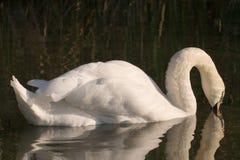 Un cisne en el lago Fotografía de archivo