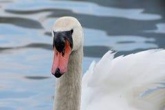 Un cisne en el río de Adda Fotos de archivo libres de regalías