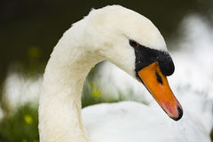 Un cisne en la orilla Foto de archivo libre de regalías