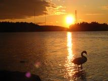 Un cisne en la puesta del sol que se coloca en el agua imagen de archivo