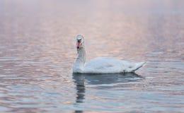 Un cisne en un lago Imagen de archivo