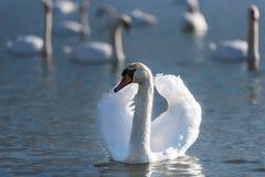 Un cisne en un lago Fotos de archivo libres de regalías