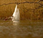 Un cisne está comiendo Foto de archivo