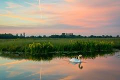 Un cisne está nadando en el agua tranquila de un canal holandés en el paisaje holandés hermoso del pólder en la puesta del sol imagen de archivo libre de regalías