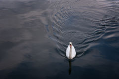 Un cisne está nadando en el lago de Hallstatt, Austria Foto de archivo libre de regalías