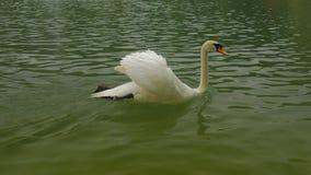 Un cisne está nadando a otro almacen de video