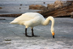 Un cisne está comiendo Fotos de archivo
