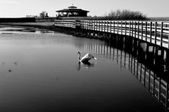 Un cisne hermoso fotos de archivo
