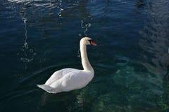 Un cisne hermoso fotos de archivo libres de regalías