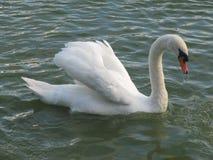 Un cisne hermoso en la superficie del agua Foto de archivo