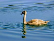Un cisne joven fotografía de archivo