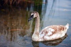 Un cisne joven en un paseo fotos de archivo