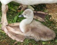 Un cisne mudo minúsculo del viejo bebé de la semana que se acuesta en su pie reticulado del ` s de la madre Imagen de archivo