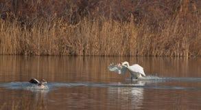 Un cisne mudo que ataca un ganso Fotografía de archivo