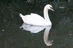 Un cisne nada apacible cerca en una charca, junto con su reflexión Imagen de archivo libre de regalías