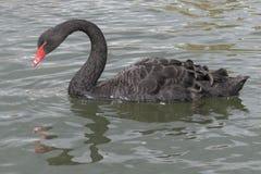 Un cisne negro imagen de archivo libre de regalías