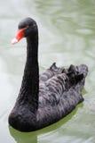 Un cisne negro Fotografía de archivo