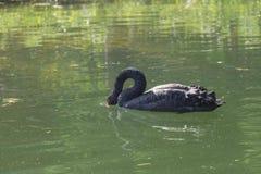 Un cisne negro en charcas Imagen de archivo libre de regalías