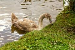 Un cisne por la orilla del río Fotos de archivo libres de regalías