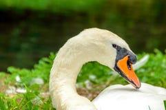 Un cisne que llora por el río Fotos de archivo