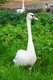 Un cisne que se coloca en la hierba Imagenes de archivo